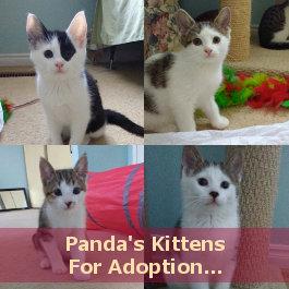 Panda's kittens for adoption. Oasis Animal Rescue, Toronto GTA