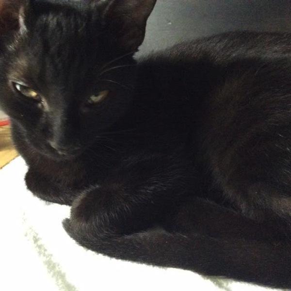 Jinxie, kitten for adoption. Oasis Animal Rescue