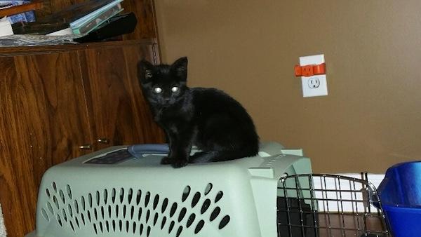 Midnight. Adoptable kitten. Oasis Animal Rescue, Toronto GTA