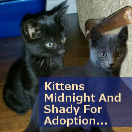 Midnight and Shady. Adoptable kittens. Toronto GTA pet rescue, adoption.