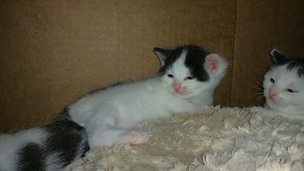 Patches. Adoptable kitten. Toronto GTA