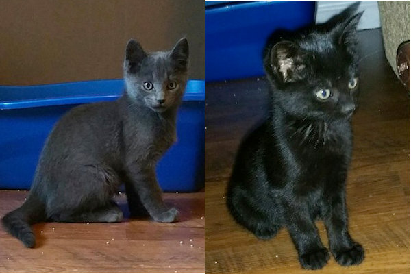 Shady and Midnight. Kittens for adoption. Oasis Animal Rescue.