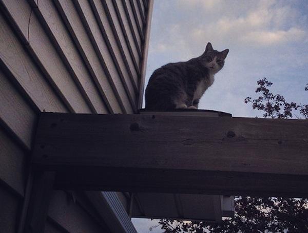 Cat name Freud, for adoption. oasisanimalrescue