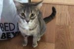Goldie. Absolute Sweetie, Adorable Cat Finds Forever Home