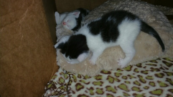 Marbles. Kitten for adoption. Toronto GTA, Durham Region