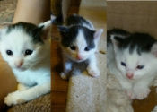 Patches, Speckles & Marble. Kittens For Adoption
