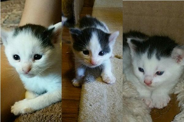 Kittens for adoption. Toronto, GTA, oasisanimalrescue.ca