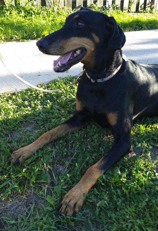 Sonia. Dog for adoption. Oasis Animal Rescue. Toronto GTA