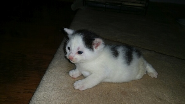Speckles. Kitten for adoption. Toronto, GTA, Durham Region