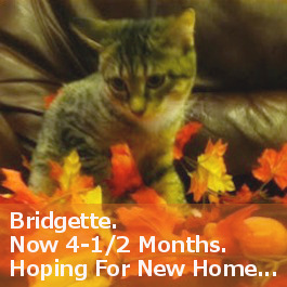 Bridgette kitten for adoption. Oasis Animal Rescue, GTA Toronto pet adoption