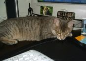 Gabbie. Pretty Cat Needs Foster/Adoptive Home ASAP