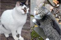 Joey and Nikki. Senior cats for adoption. Toronto GTA.