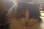 Layah. Friendly Cat Needs Foster Home – URGENT