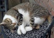 Nikki. Healthy, Senior Cat In Need Of Loving Retirement Home