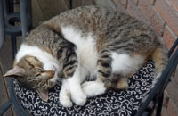 Nikki. Senior cat for adoption. Toronto GTA.