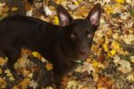 Amiko (aka Niko). Puppy Finds His Forever Home