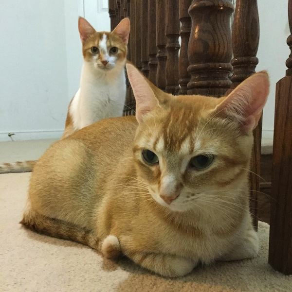 Gizmo and Ginger. Beautiful female cats for adoption. Toronto GTA
