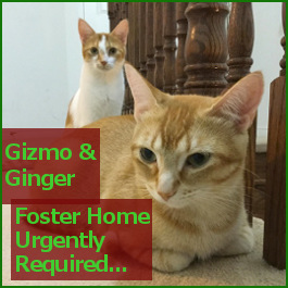 Gizmo and Ginger, cats for adoption