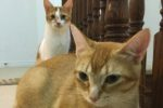 Gizmo And Ginger. Two Beautiful Cats Desperately Need New Home