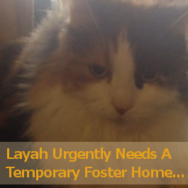 Cat Needs Urgent Foster Home. Oasis Animal Rescue, GTA Toronto