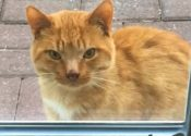 Marvin. Cat Discovered Under Shed Needs Warm, Loving Home