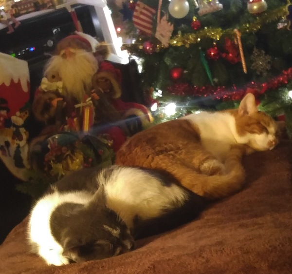 Adopted cats Archie and Oliver getting ready for Christmas