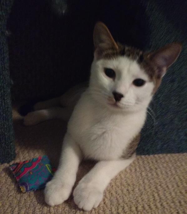 Khloe, kitten for adoption. Toronto GTA