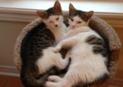 Kourtney And Khloe. Playful, Bonded Kitten Pair For Adoption