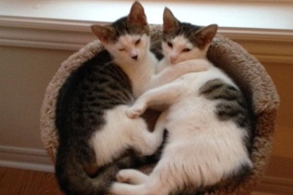 Khloe Kourtney. Kittens for adoption. oasisanimalrescue.ca