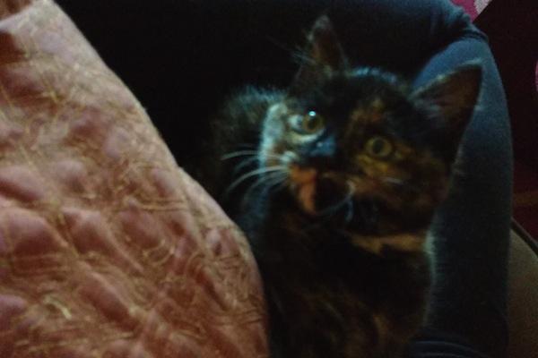 Mookie. Rescue kitten for adoption. oasisanimalrescue.ca