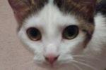 Panda. Calm, Affectionate Cat Seeks Quiet New Home