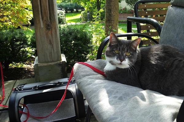 Missy. Cat for adoption. GTA Toronto, Durham Region