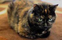 Penny. Cat for adoption. Oasis Animal Rescue, Toronto, GTA, Durham Region