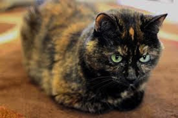 Penny great companion cat for senior for adoption oasis animal rescue and education center - Images of tortoiseshell cats ...