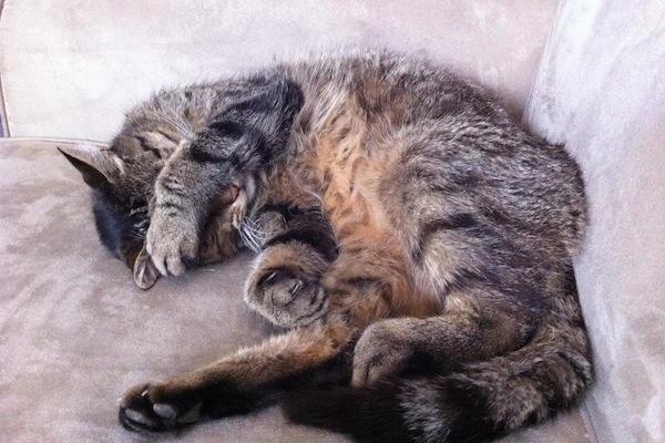 Toby. Adopt Cat Toronto GTA