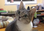 Miss Two. Lovely, Affectionate Cat Needs New Forever Home