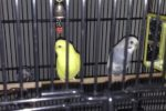 Ice And Lemon. Two Parakeets Have Found Their New Home