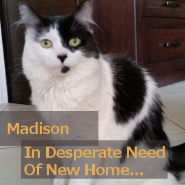 Madison. Cat in desperate need of foster/perm home