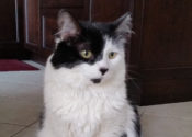 Madison. Gentle Cat Urgently Needs Foster/Perm Home