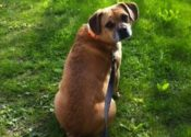 Finnegan. Active Beagle/Pug Mix Dog Seeking New Home