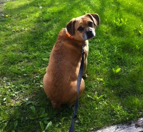 Finnegan. Dog for adoption. beagle, pug mix, Toronto GTA