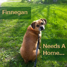 Finnegan. Beagle Pug Mix for adoption. Toronto GTA