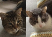 Chance And Tiggy. Friendly, Adaptable Cats Seek New Home