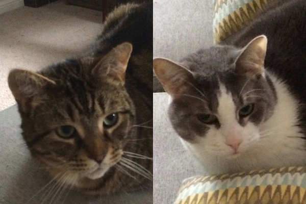 Tiggy and Chance. Cats for adoption