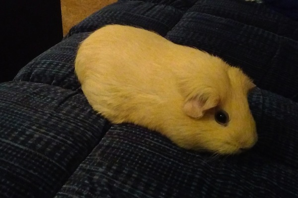 Abbey.Guinea Pig for adoption. Toronto GTA
