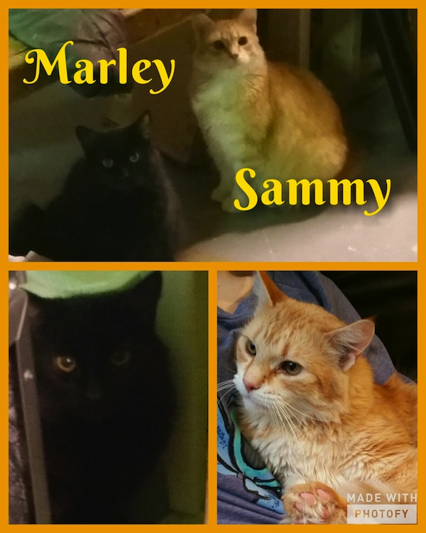 Marley and Sammy. Cats for adoption. Toronto, GTA, Durham Region