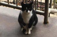 Socks. Pregnant Cat. Kittens for adoption soon. Toronto, GTA