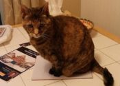 Cleo. Lap Cat, Loves To Cuddle, Can You Provide A Foster Or Perm Home?