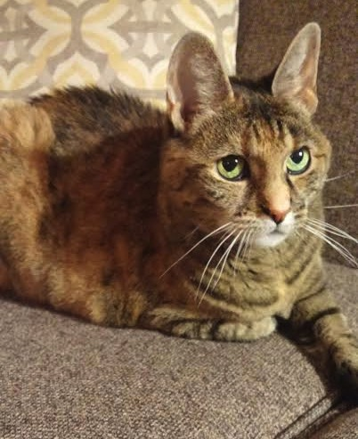 Cleo. Cat for adoption. Toronto GTA, Durham Region