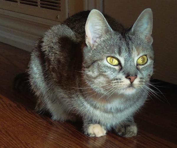 Gina. Loving Cat For Adoption. Toronto GTA, Durham Region